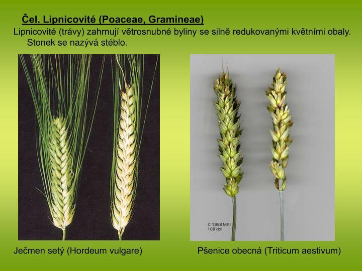 Čel. Lipnicovité (Poaceae, Gramineae)