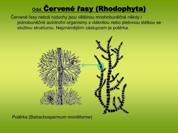 Odd erven asy rhodophyta
