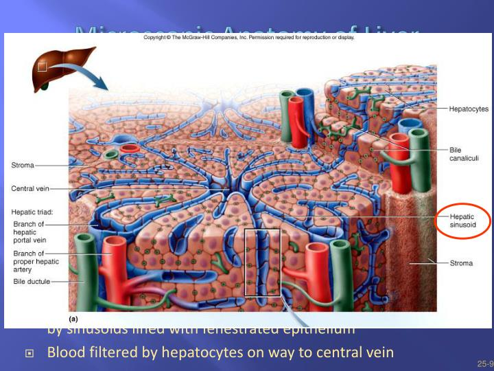Ppt Healthy Mucosa And Peptic Ulcer Powerpoint Presentation Id