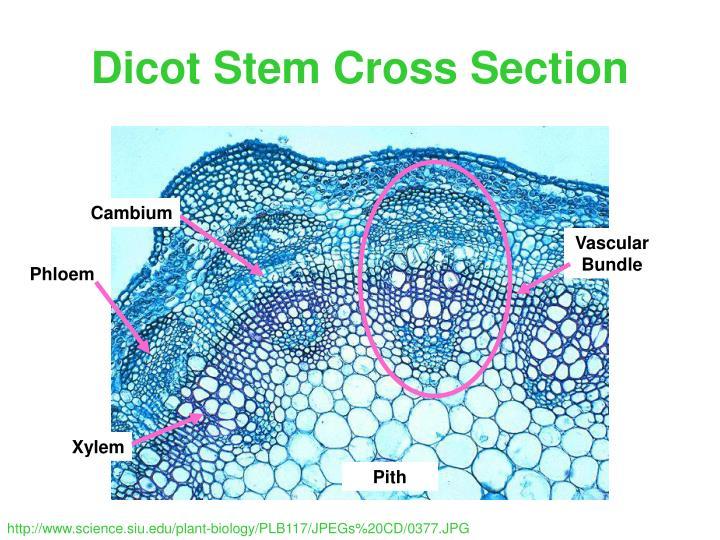28 dicot stem cross section � design gallery