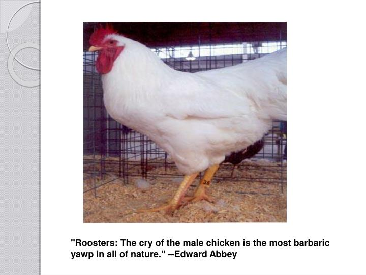 """Roosters: The cry of the male chicken is the most barbaric yawp in all of nature."" --Edward Abbey"