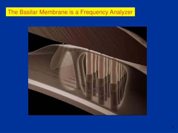 The Basilar Membrane is a Frequency Analyzer