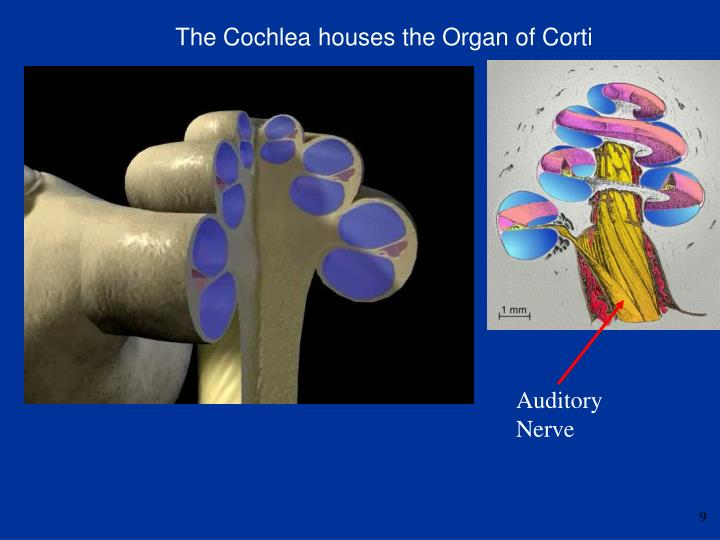 The Cochlea houses the Organ of Corti