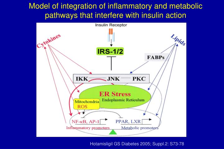 Model of integration of inflammatory and metabolic pathways that interfere with insulin action