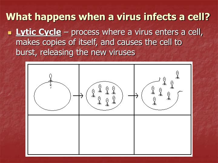 What happens when a virus infects a cell?