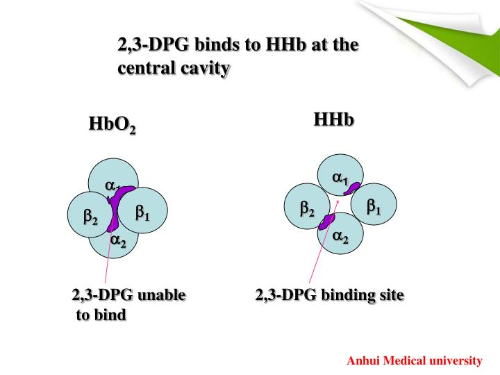 2,3-DPG binds to HHb at the central cavity