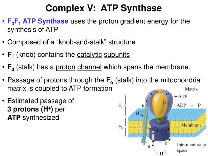 Complex V:  ATP Synthase