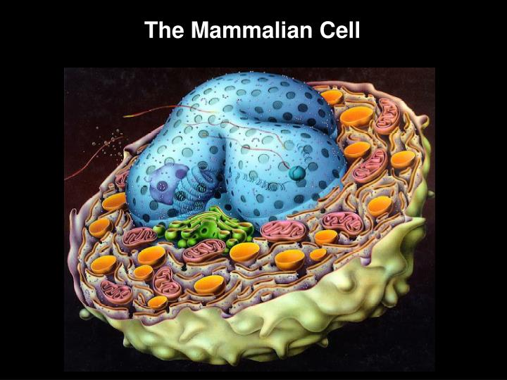 The Mammalian Cell