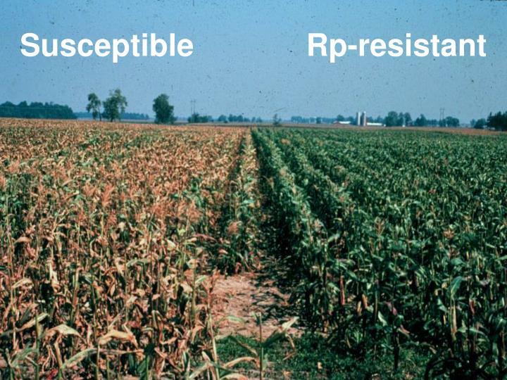 Susceptible             Rp-resistant