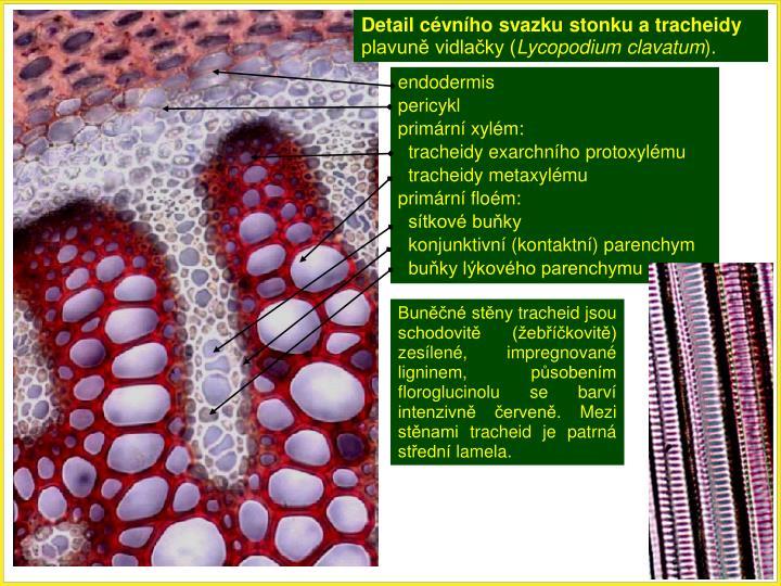 Detail cévního svazku stonku a tracheidy