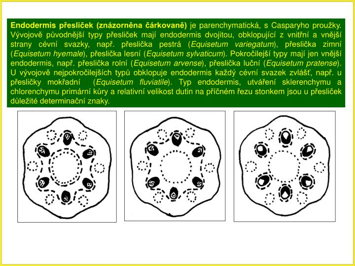 Endodermis přesliček