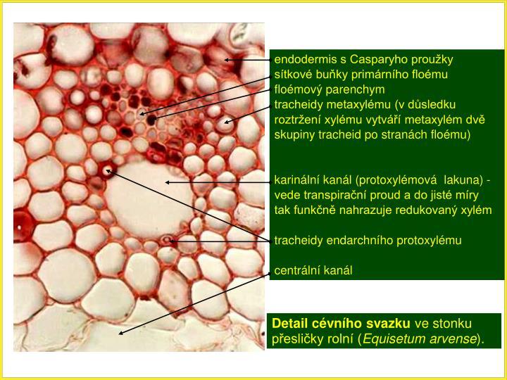 endodermis s Casparyho proužky
