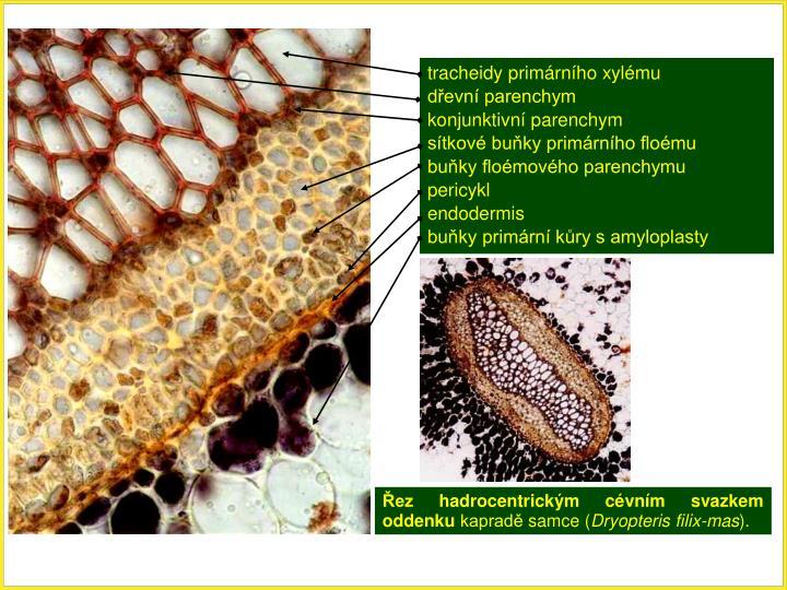 tracheidy primárního xylému