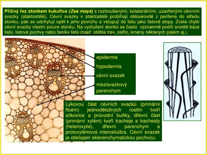 Příčný řez stonkem kukuřice (