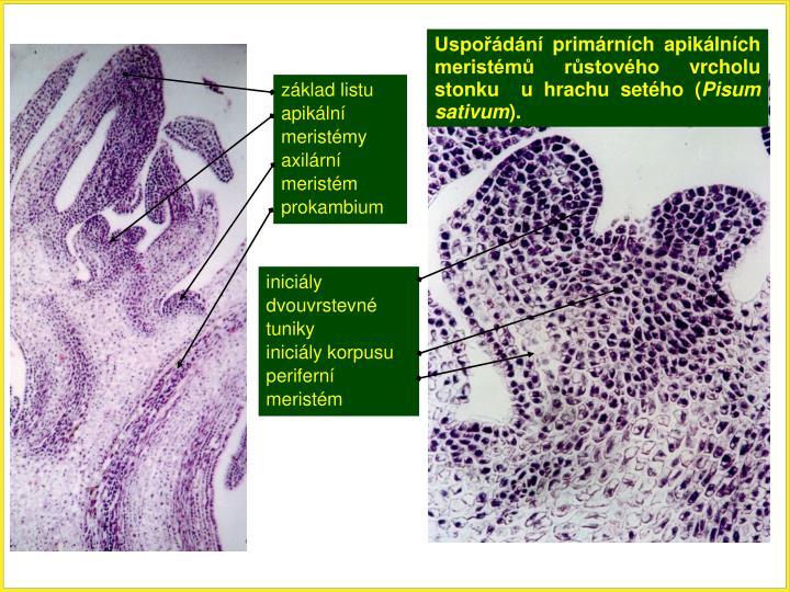 Uspořádání primárních apikálních meristémů růstového vrcholu stonku  u hrachu setého (