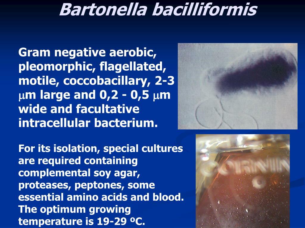 PPT - Bartonella PowerPoint Presentation - ID:4519066