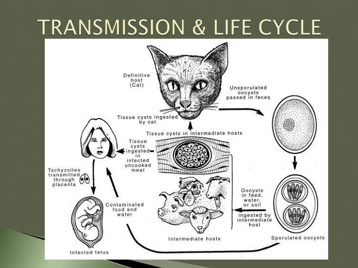 TRANSMISSION & LIFE CYCLE