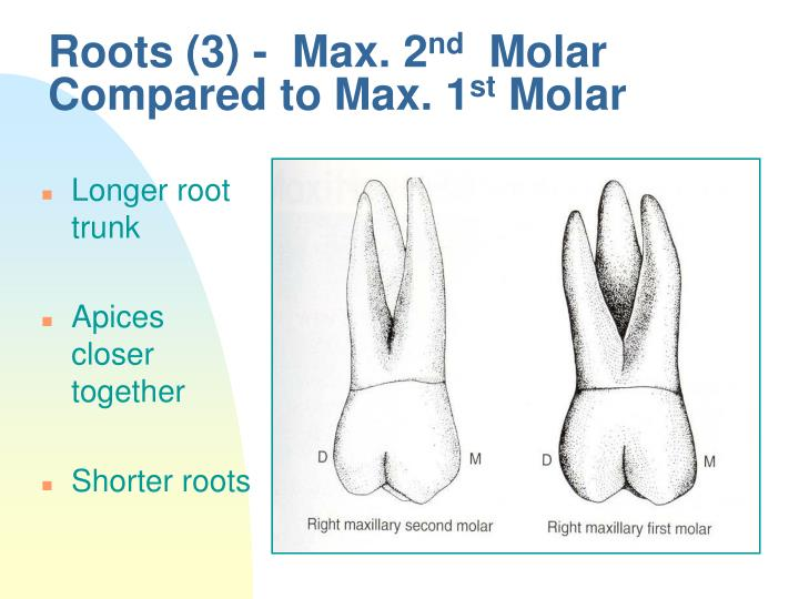 PPT - Molars PowerPoint Presentation - ID:4524183