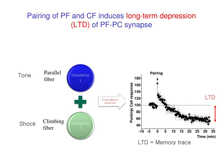 Pairing of pf and cf induces long term depression ltd of pf pc synapse