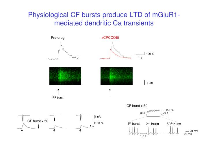 Physiological CF bursts produce LTD of mGluR1-mediated dendritic Ca transients