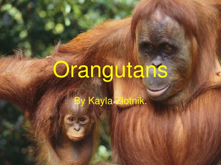 "a report on the observations of four orangutans Operations and orangutans 20 lilly endowment annual report 2 012 ""the zoo can engage and enlighten while promoting conservation,"" crowther says."