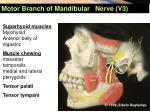 motor branch of mandibular nerve v3
