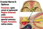 cranial nerve i i o pticus