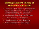 sliding filament theory of muscular contraction