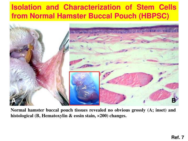 Isolation and Characterization of Stem Cells from Normal Hamster Buccal Pouch (HBPSC)