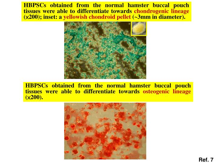 HBPSCs obtained from the normal hamster buccal pouch tissues were able to differentiate towards