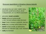 persicaria lapathifolia l delarbre rdesno ble n k