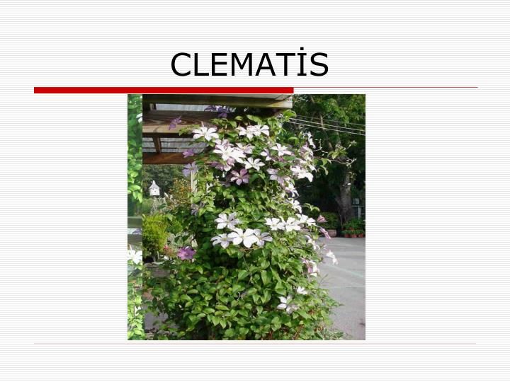 clemat s n.