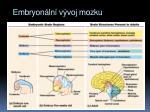 embryon ln v voj mozku