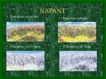 napant