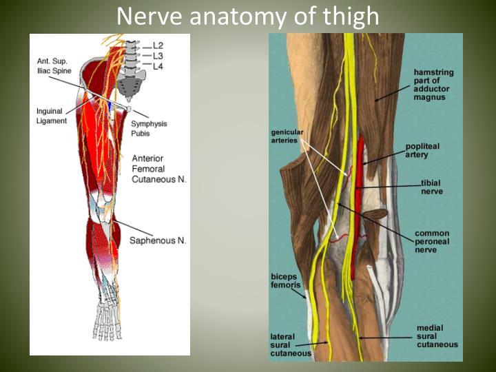 Nerve anatomy of thigh