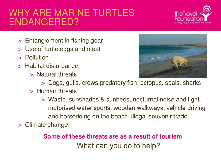 WHY ARE MARINE TURTLES ENDANGERED?