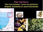 high tide zone filter feed seawater larvae are planktonic limpets buckshot or acorn barnacles