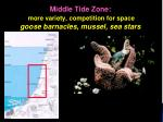 middle tide zone more variety competition for space goose barnacles mussel sea stars