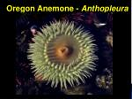 oregon anemone anthopleura