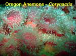 oregon anemone corynactis