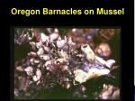 oregon barnacles on mussel