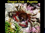 oregon crab pugettia