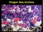 oregon sea urchins
