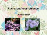ageratum houstonianum1
