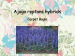 ajuga reptans hybrids