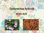 calibrachoa hybrids