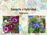 senecio x hybridus