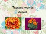tagetes hybrids
