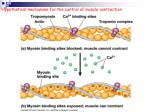 hypothetical mechanism for the control of muscle contraction