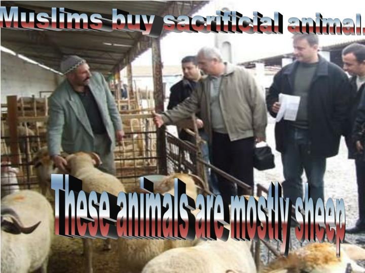 Muslims buy sacrificial animal.